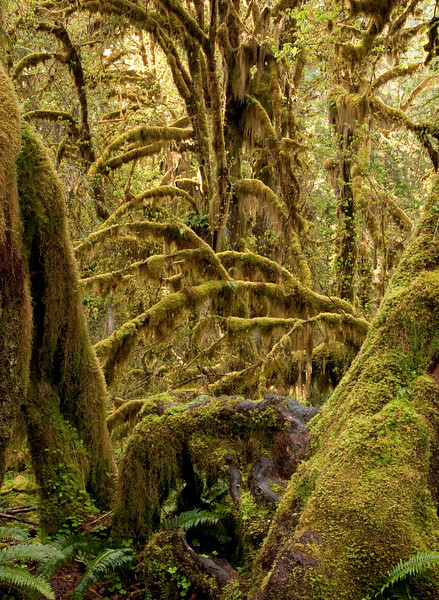 Hall of Mosses trail, Hoh Rain Forest Hall of Mosses trail, spring