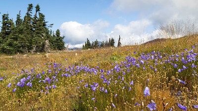 Summertime wildflowers along the road leading to Obstruction Point