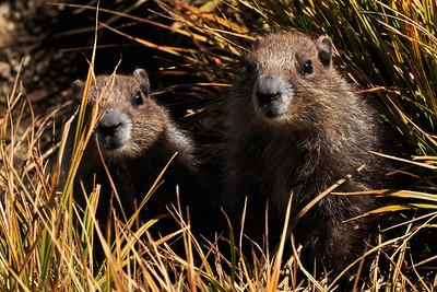 Olympic marmot (Marmota olympus)
