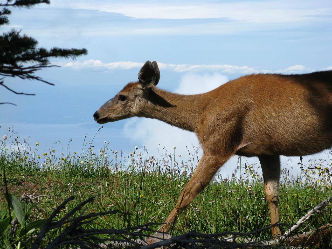 The doe at the ridge line.