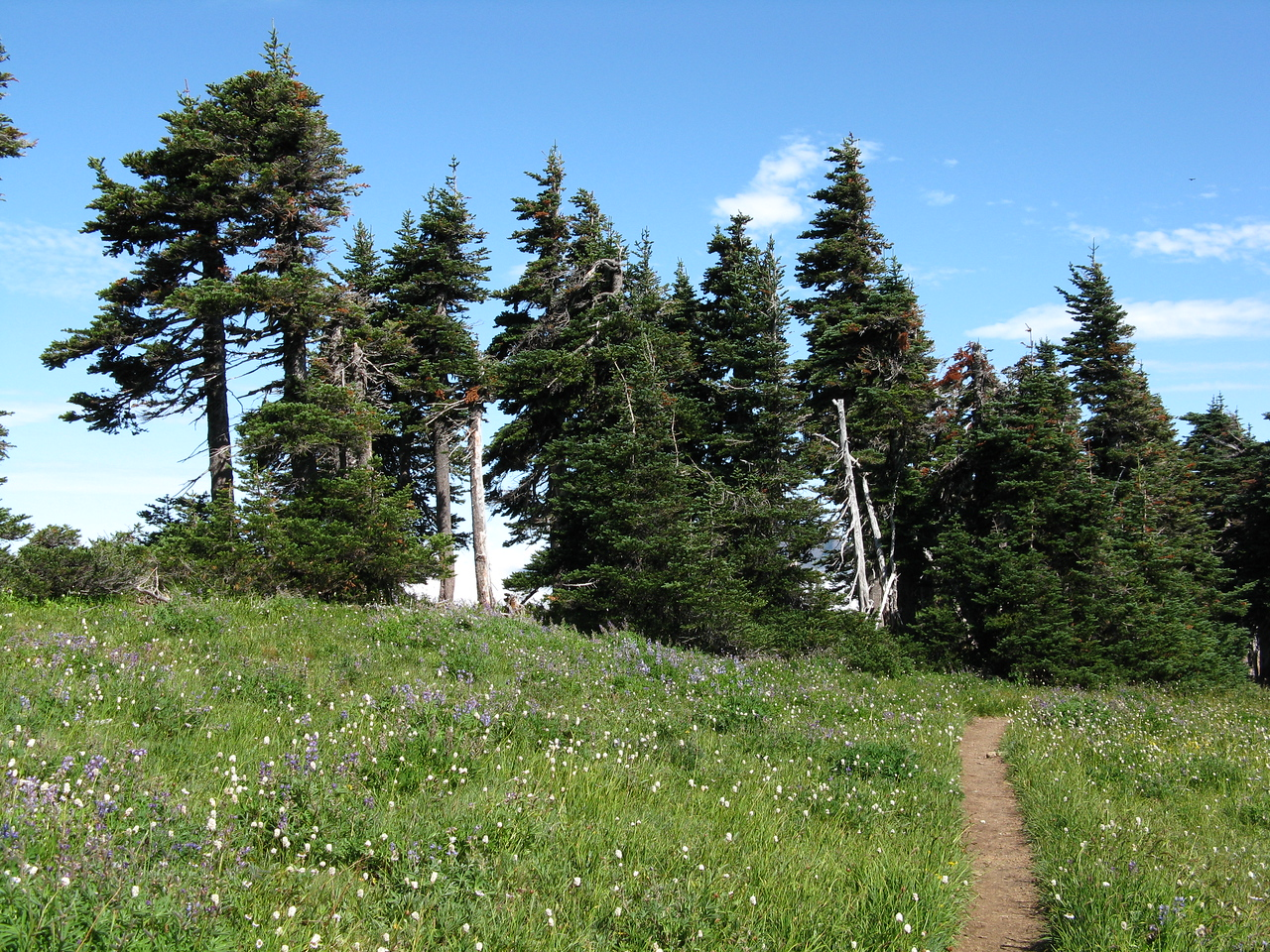 Wildlowers and evergreens near to top of Hurricane Hill.