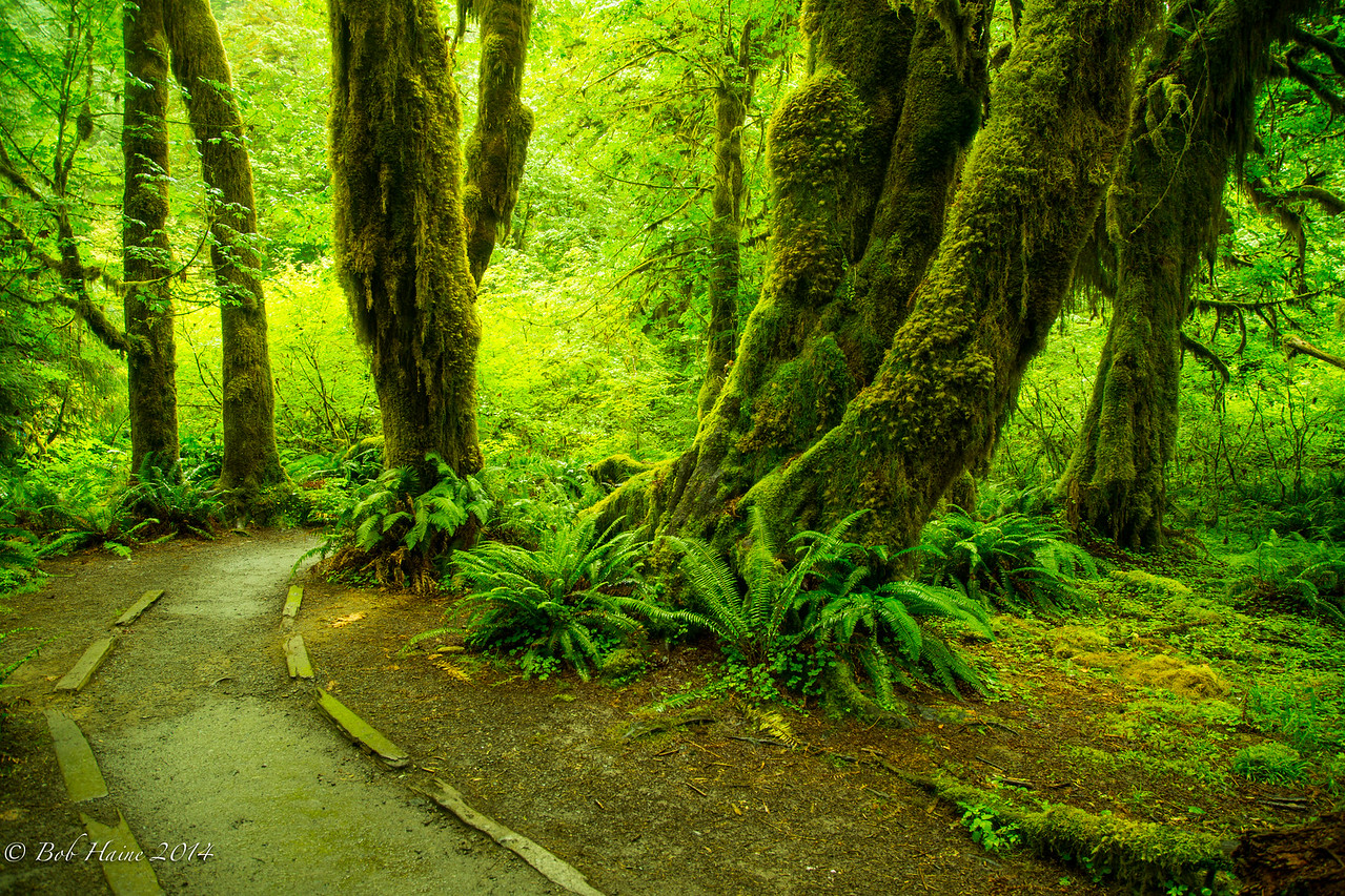 Hall of Mosses,  Hoh River Rain Forest, No. 1