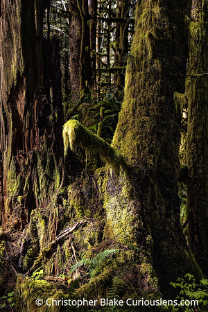 Morning Hoh Rainforest