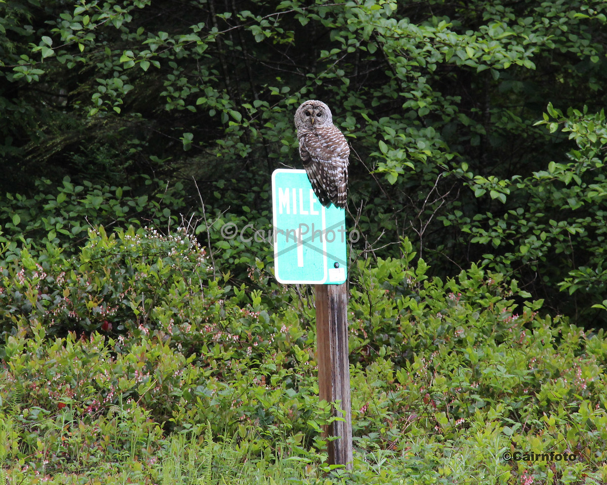 Roadside Owl