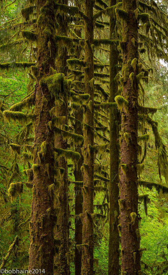 Hoh River Rain Forest