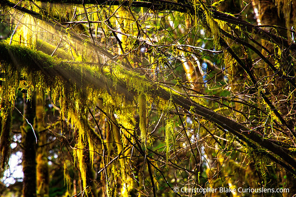 Sunrays in the Hoh Rainforest