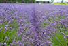 Lavender Farm 73