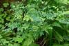 Hoh Rain Forest 107