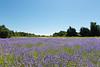 Lavender Farm 196