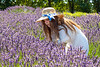 Lavender Farm 250