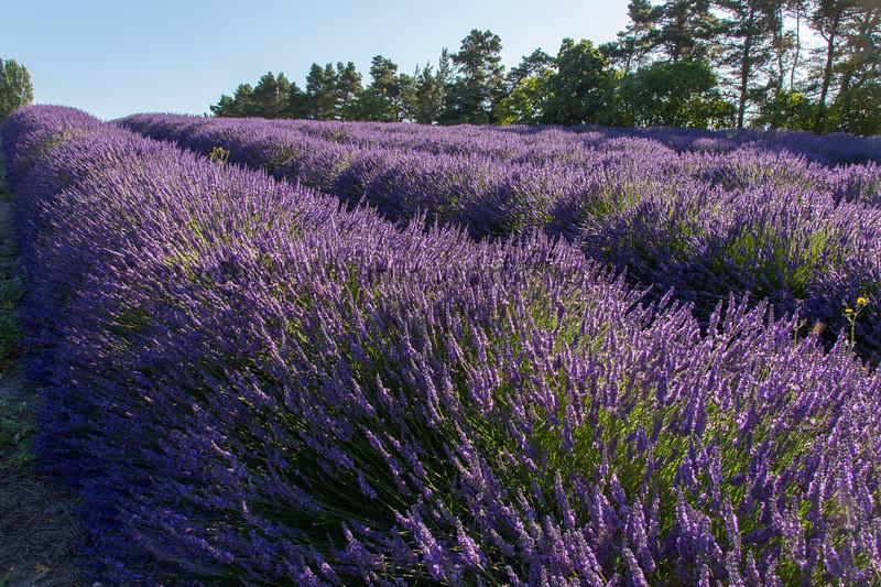 Lavender Farm 180
