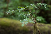 Hoh Rain Forest 114