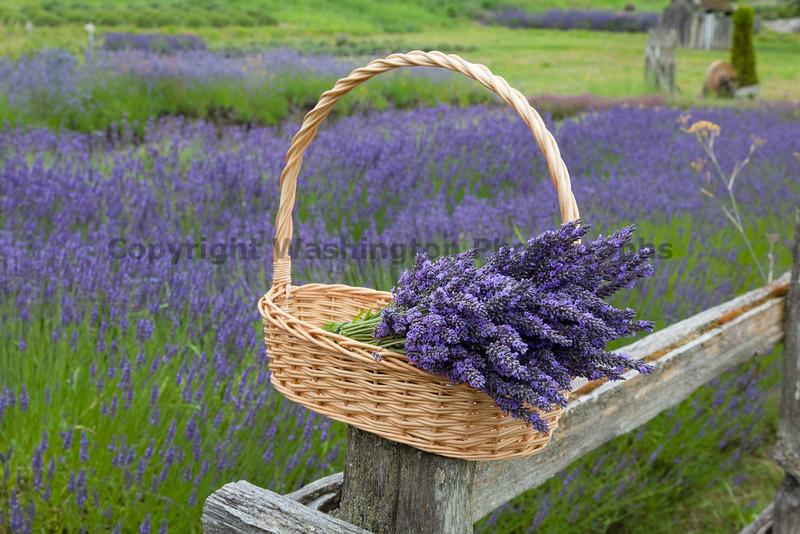 Lavender Farm 53