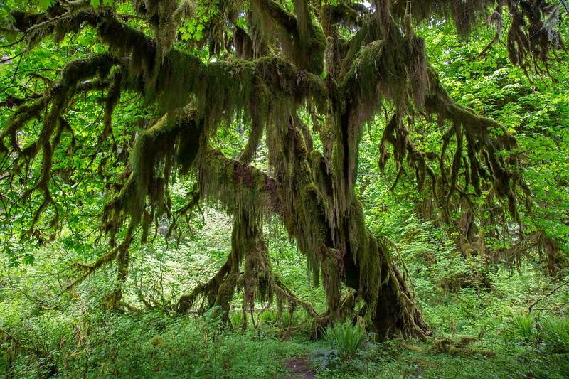 Hoh Rain Forest 122