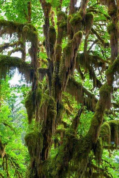 Hoh Rain Forest 38