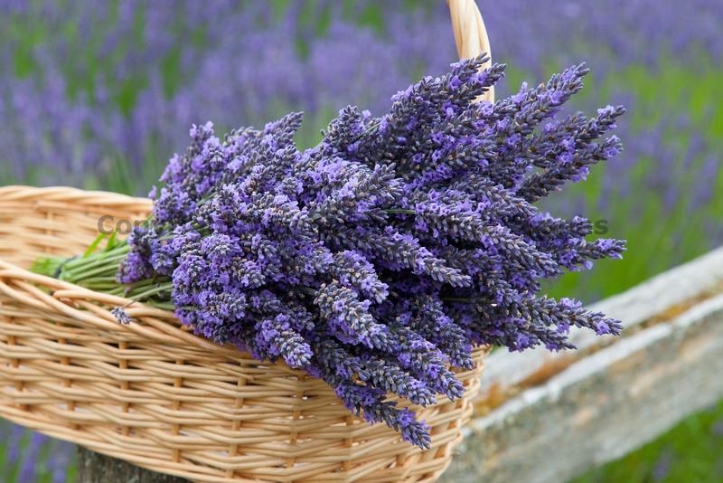 Lavender Farm 52