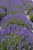 Lavender Farm 28