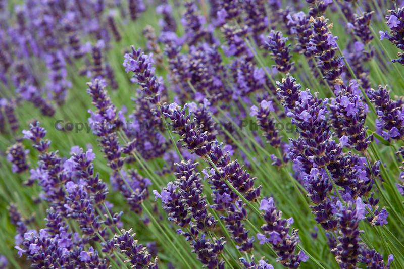 Lavender Farm 50