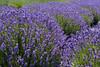 Lavender Farm 27