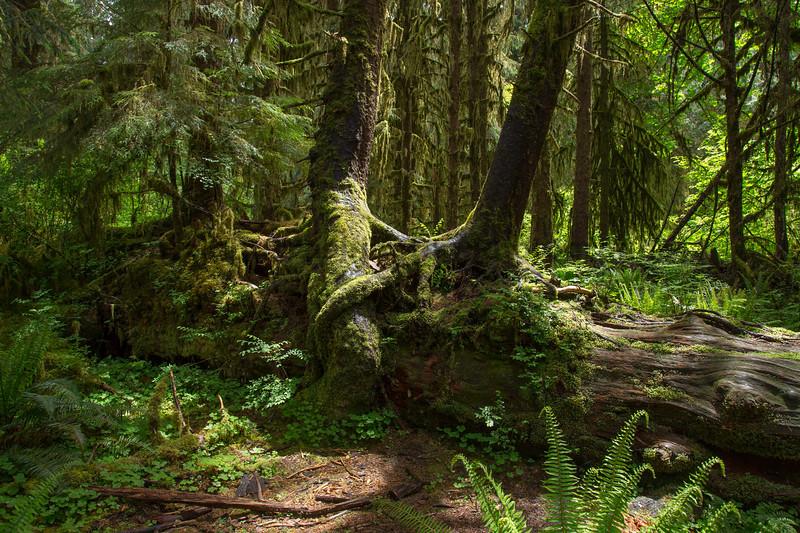 Hoh Rain Forest 129