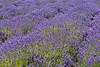 Lavender Farm 194