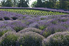 Lavender Farm 190