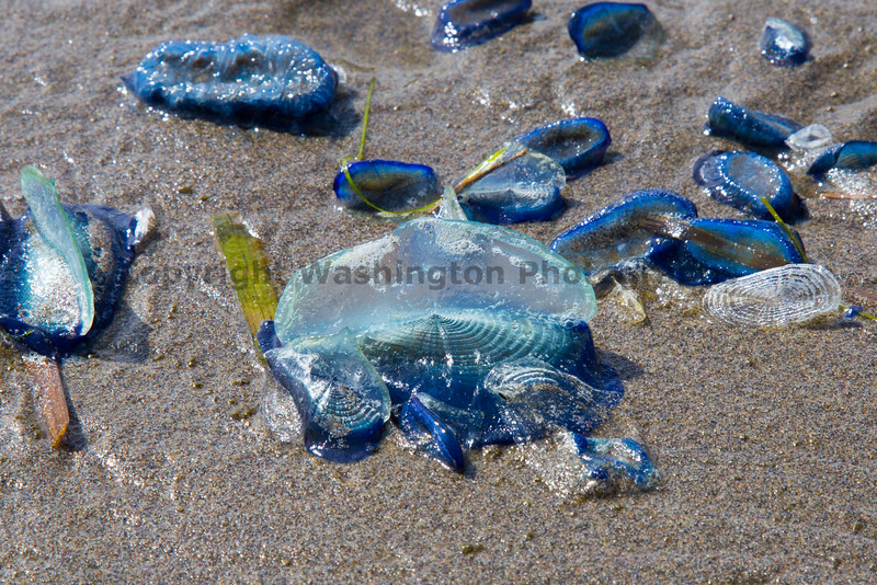 Long Beach Velella 15
