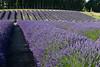 Lavender Farm 182