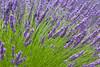 Lavender Farm 64