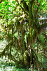 Hoh Rain Forest 11