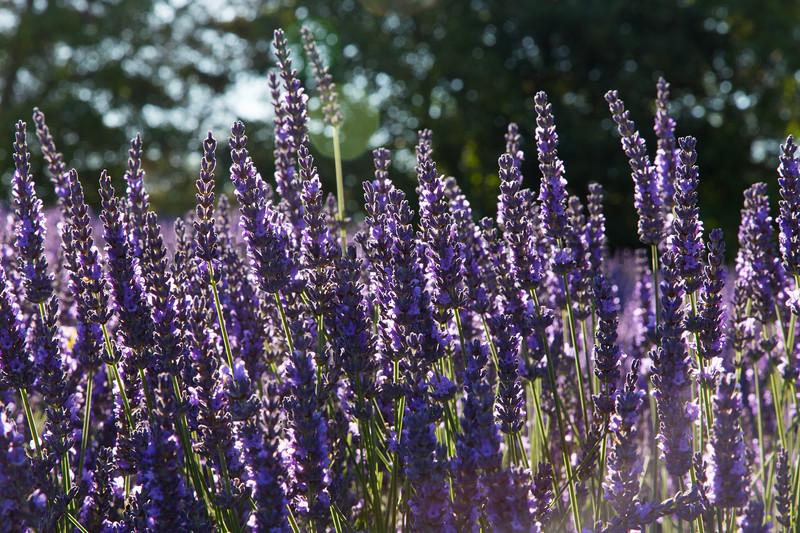 Lavender Farm 181