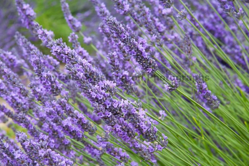 Lavender Farm 65