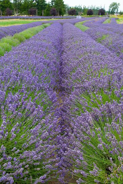 Lavender Farm 72