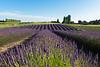 Lavender Farm 175