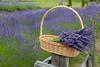 Lavender Farm 51