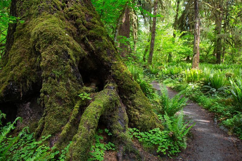 Hoh Rain Forest 174