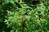 Hoh Rain Forest 105