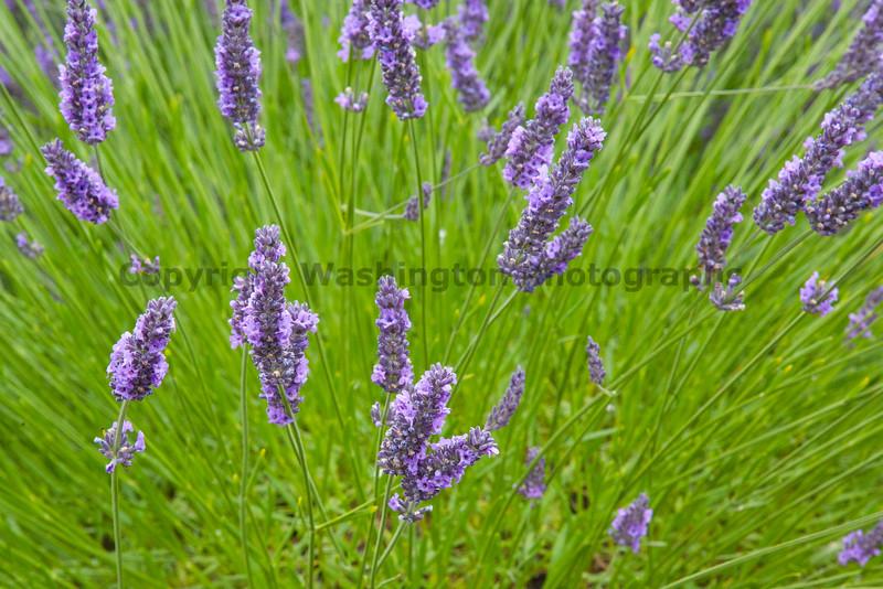 Lavender Farm 61