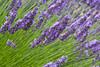 Lavender Farm 66