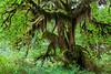 Hoh Rain Forest 24