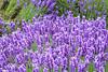 Lavender Farm 121