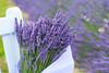 Lavender Farm 70
