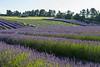 Lavender Farm 186