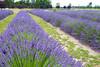 Lavender Farm 59