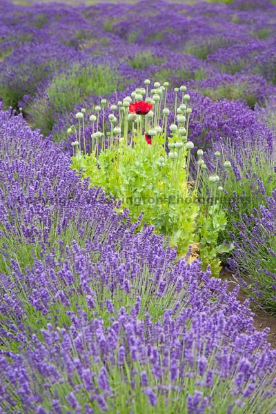 Lavender Farm 118