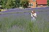 Lavender 16