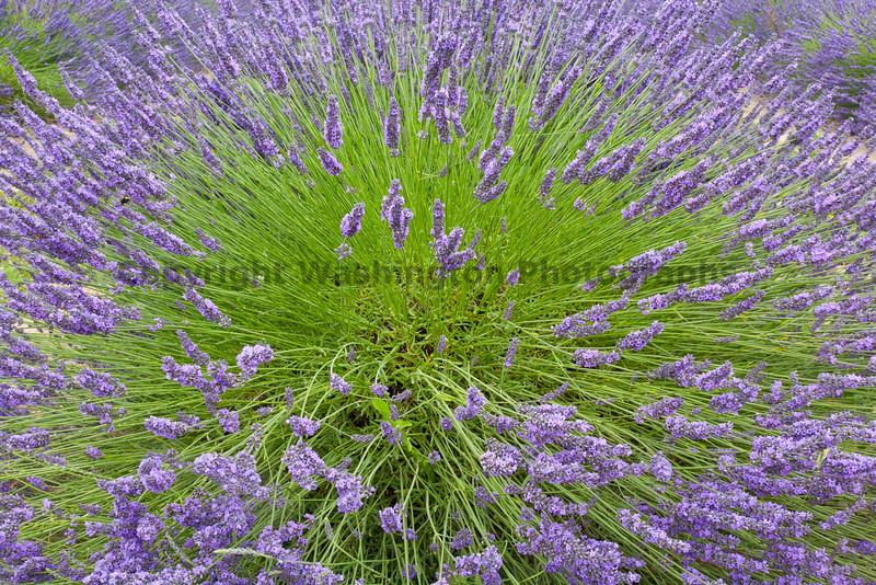 Lavender Farm 60