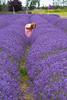 Lavender Farm 144