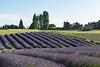 Lavender Farm 189