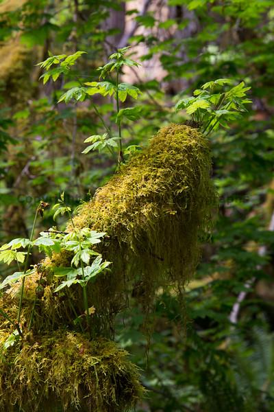 Hoh Rain Forest 147